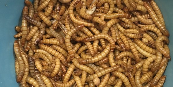 Live mealworms from the wild bird center of johns creek